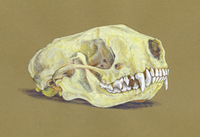 Striped Skunk Skull